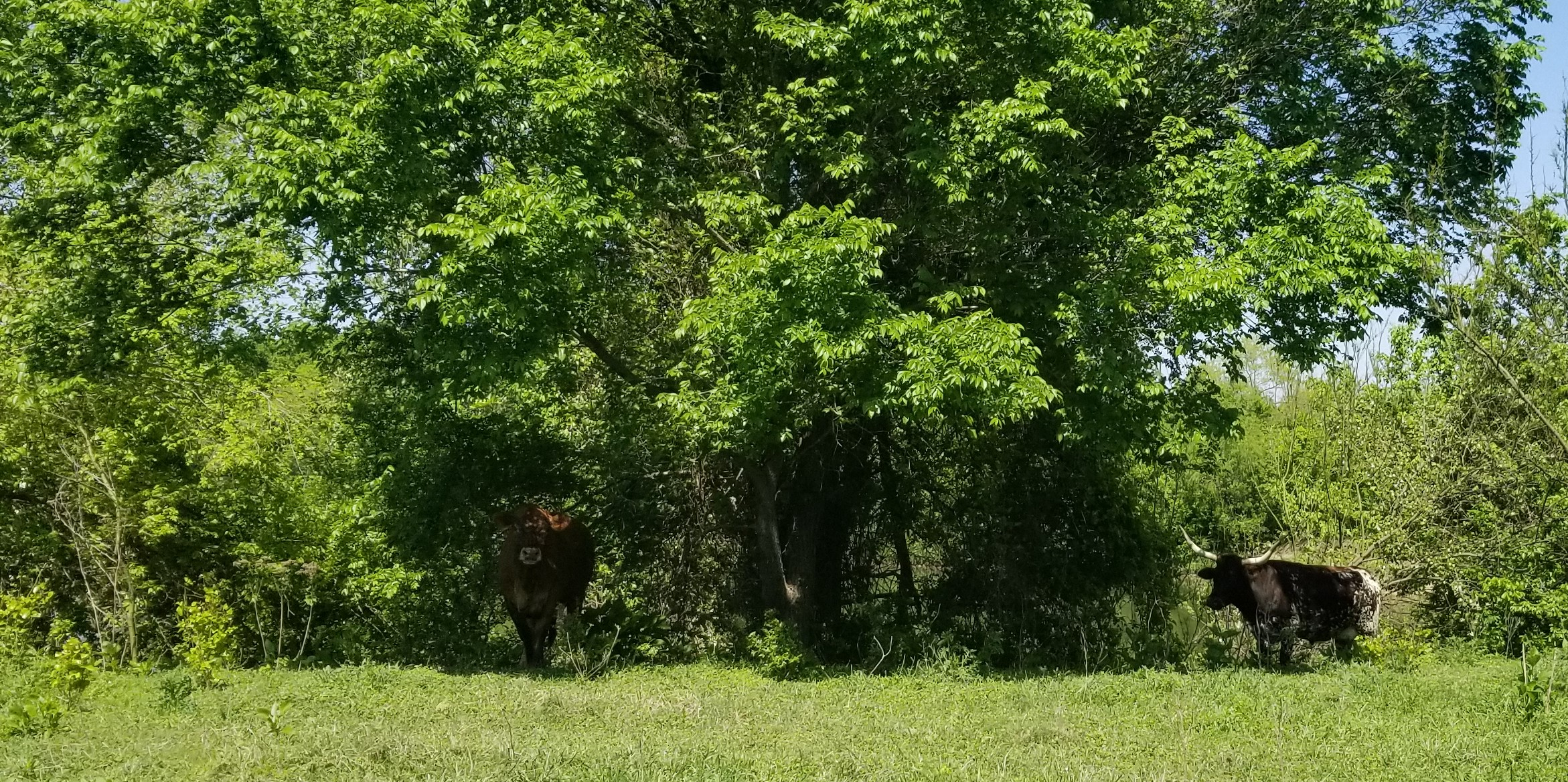 Some were interested in us, but kept their distance.  We kept our eye on that long horn!