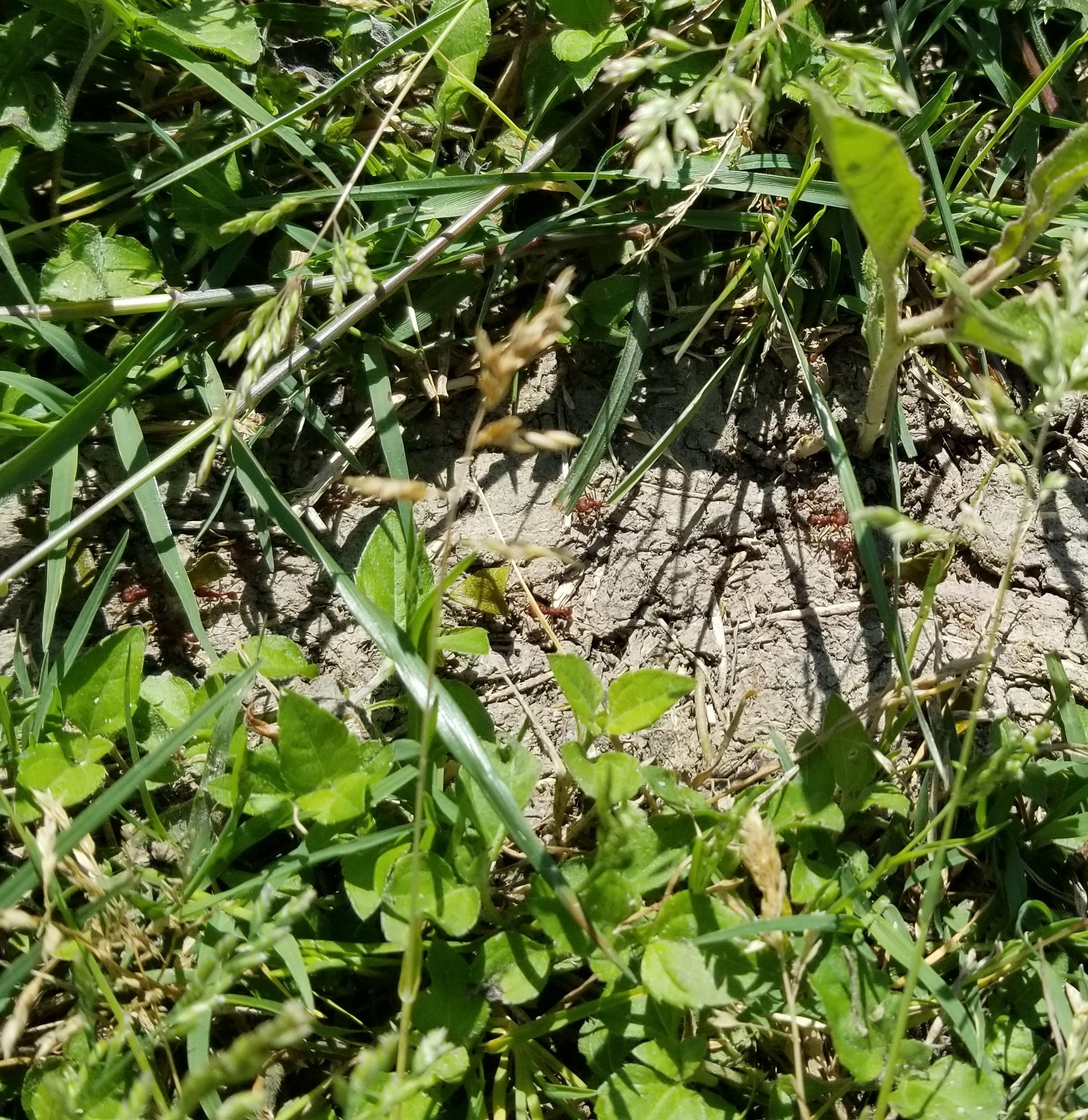 There was this long trail through the grass about 2-3 inches wide where the entire thing was covered with large ants hauling off pieces of leaves.