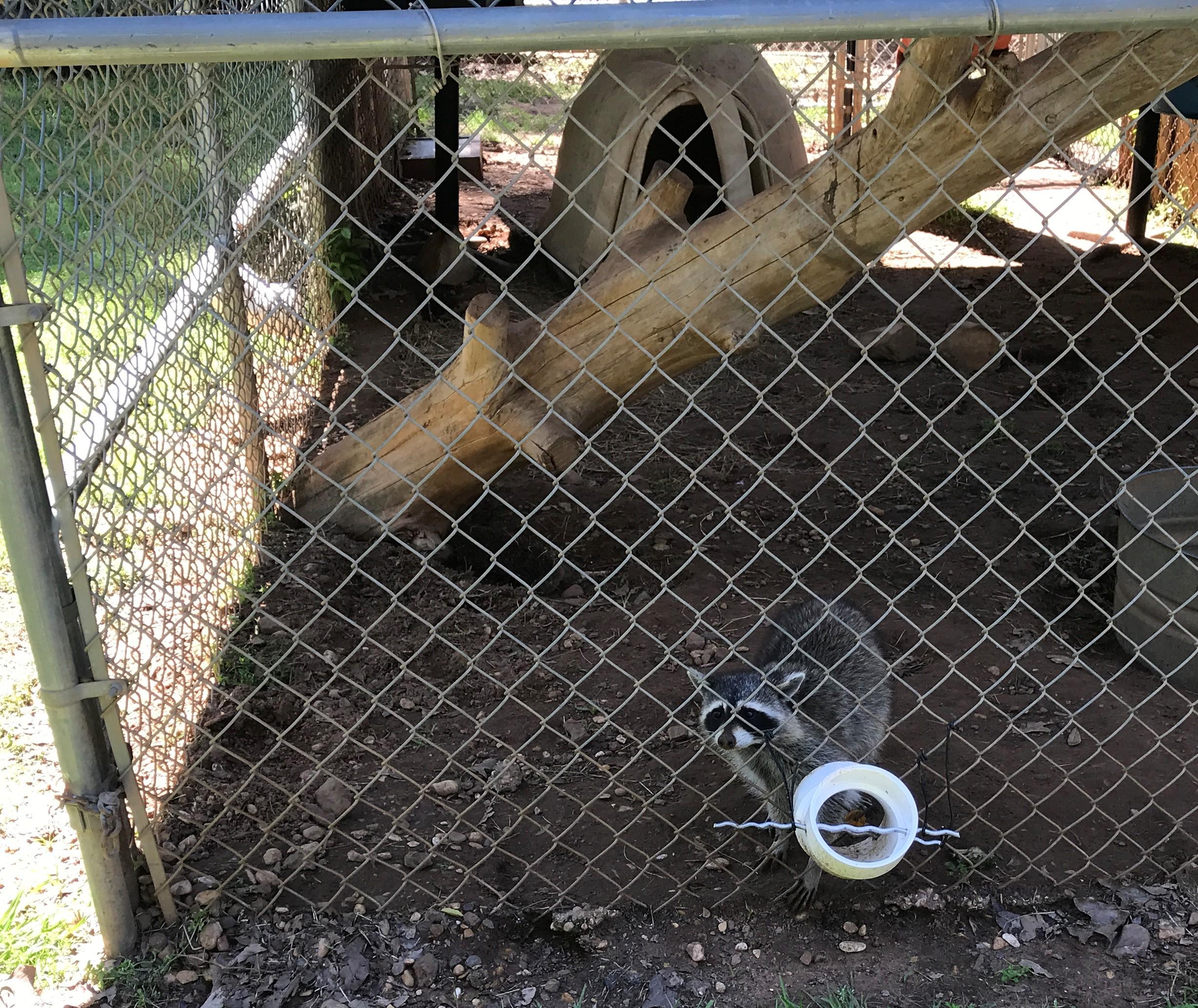The raccoons they had.. aka trash pandas!