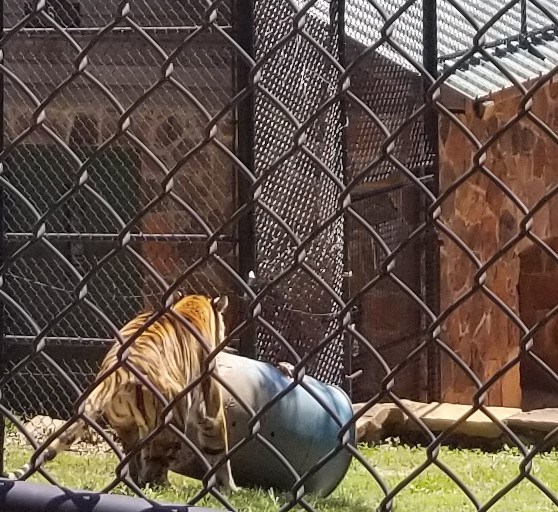Jasmine a Bengal Tiger born 4/8/2001. See the video below to watch Jasmine play with her barrel.