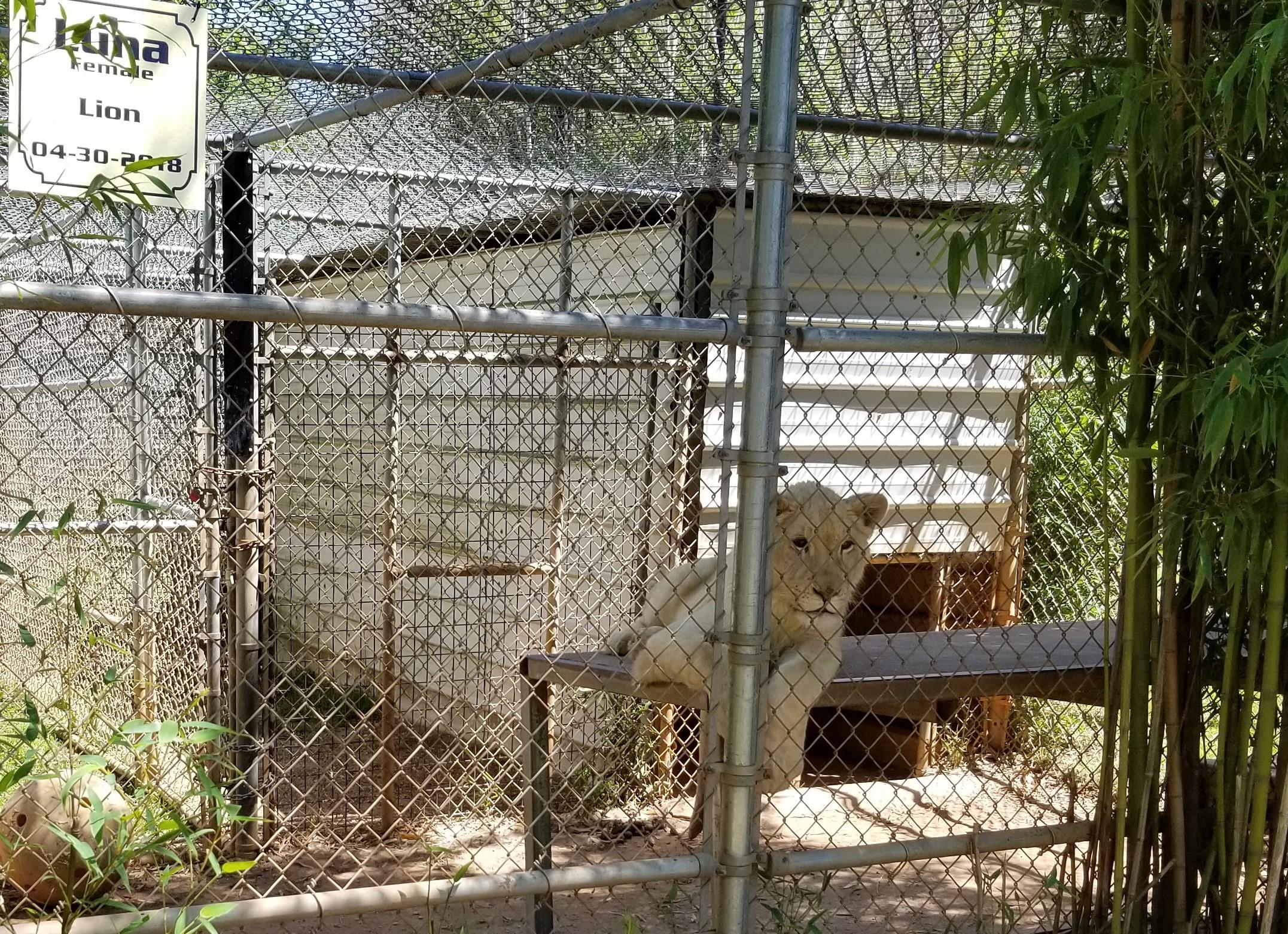 Luna a white African lion cub born 4/30/2018