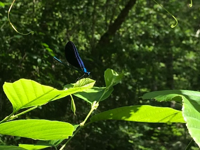 We saw these little fellas all over.. This one had bright blue wings although you cannot quite see them here.