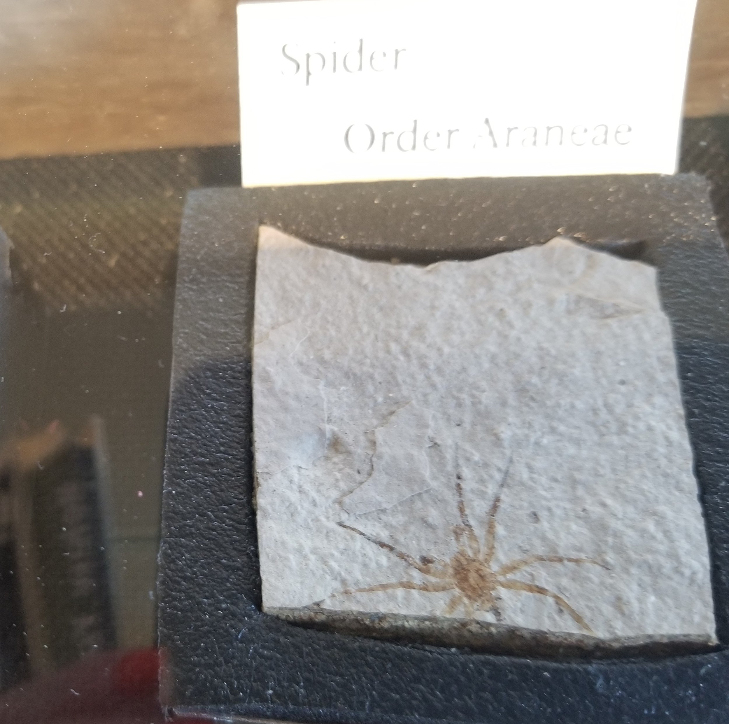 Spider fossil