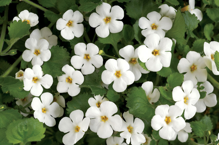 Bacopa+for+HN+2.jpg