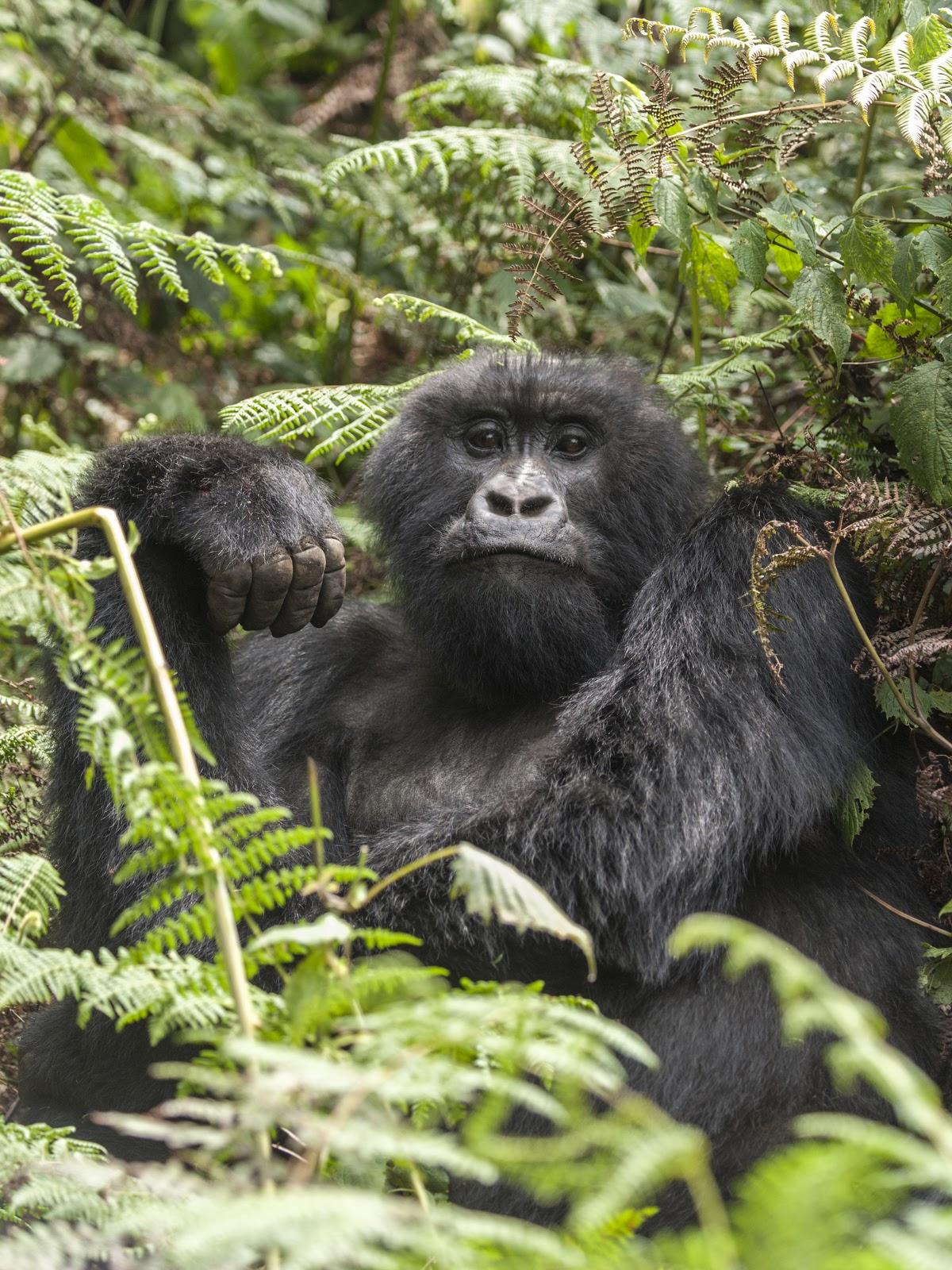 gorilla+1.JPG