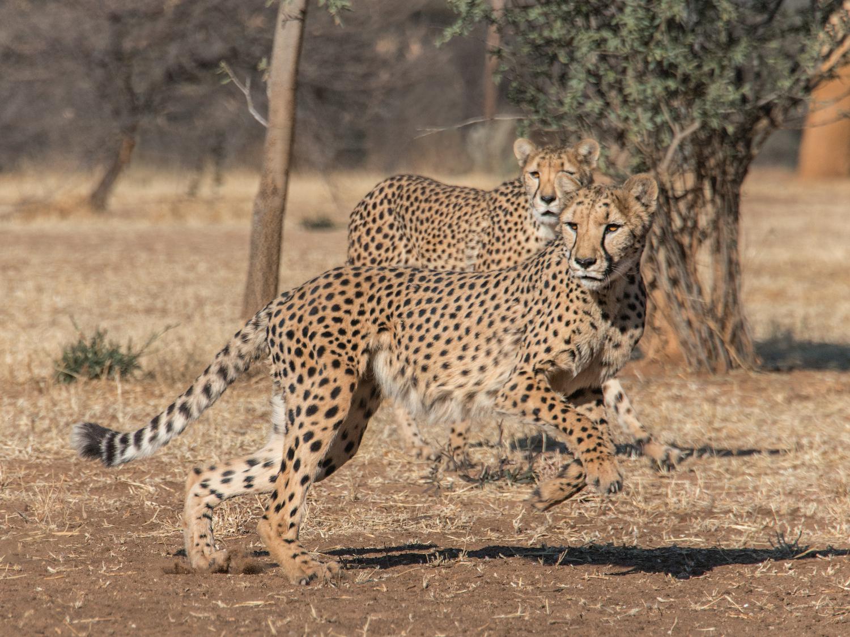 cheetah22.jpg
