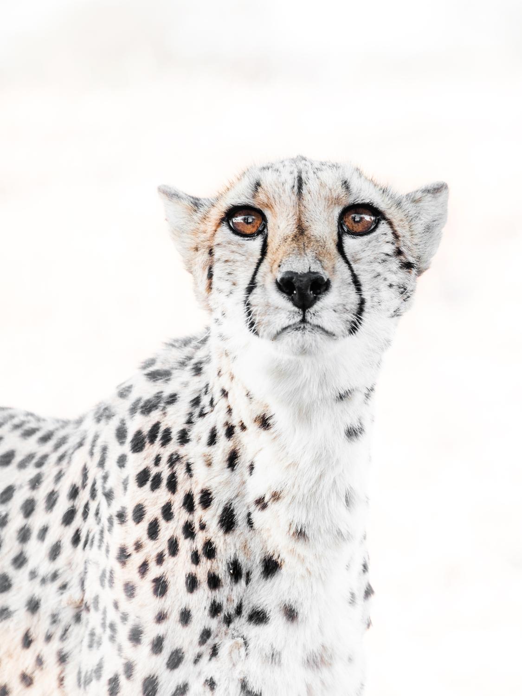 cheetah13.jpg