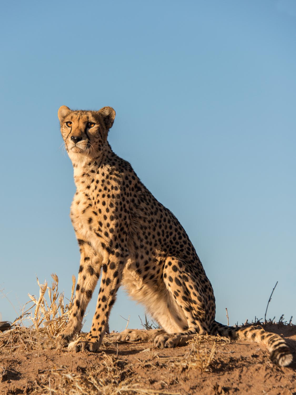 cheetah12.jpg