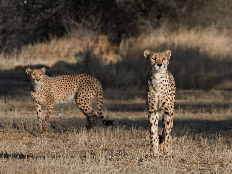 cheetah6.jpg