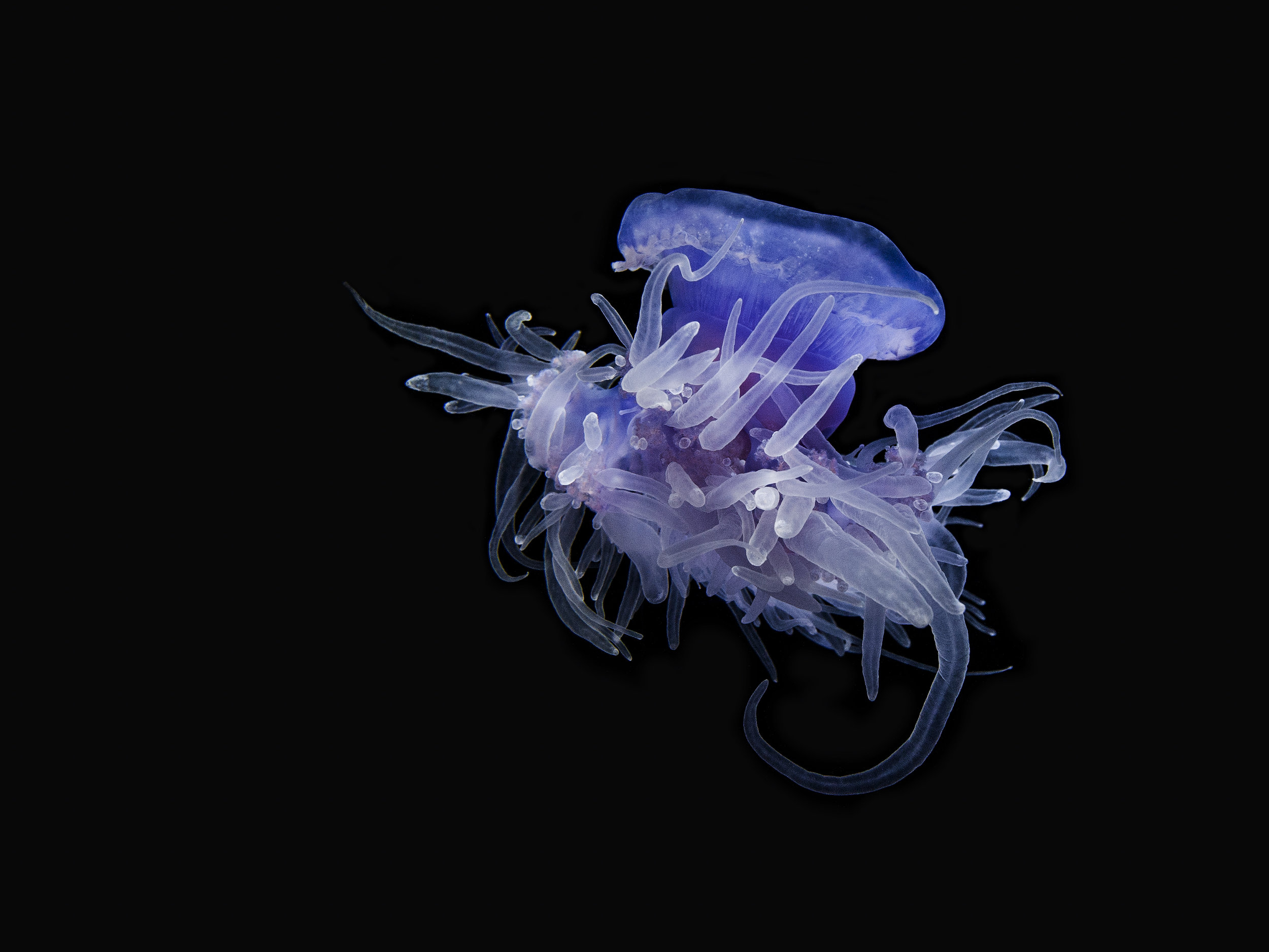 Crown Jelly