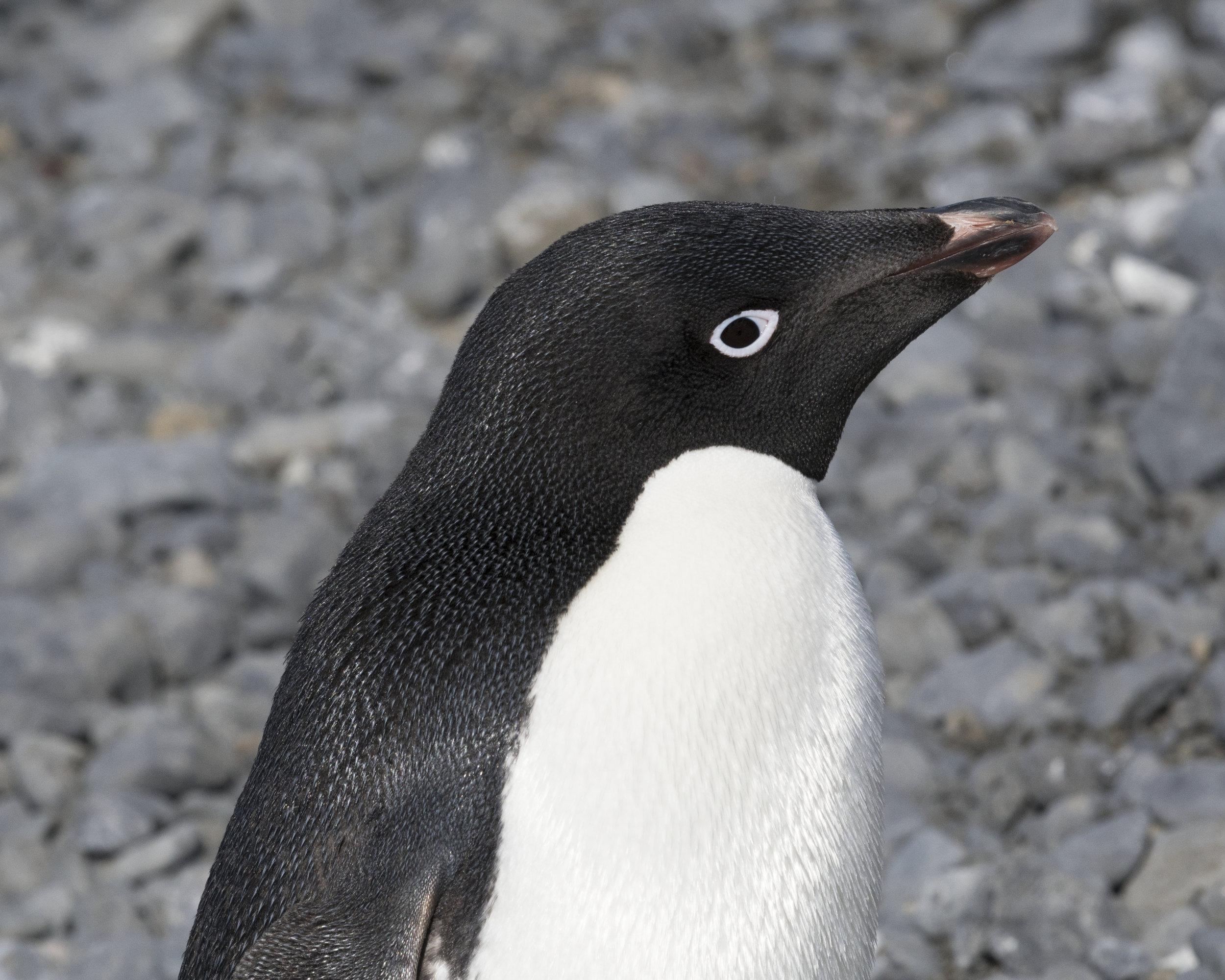 penguin46.jpg