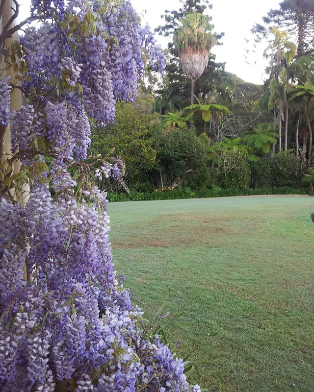 Fragrance heaven ♡ #spring#fragrance #nature#outdoors#wisteria #hutandmanor #australianmade #interiors #decorating #sydney #love