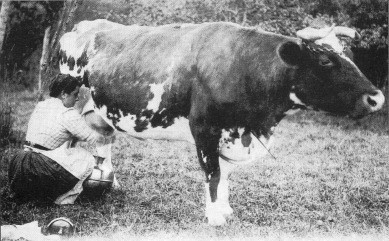 NORMANDE COW Circa 1900
