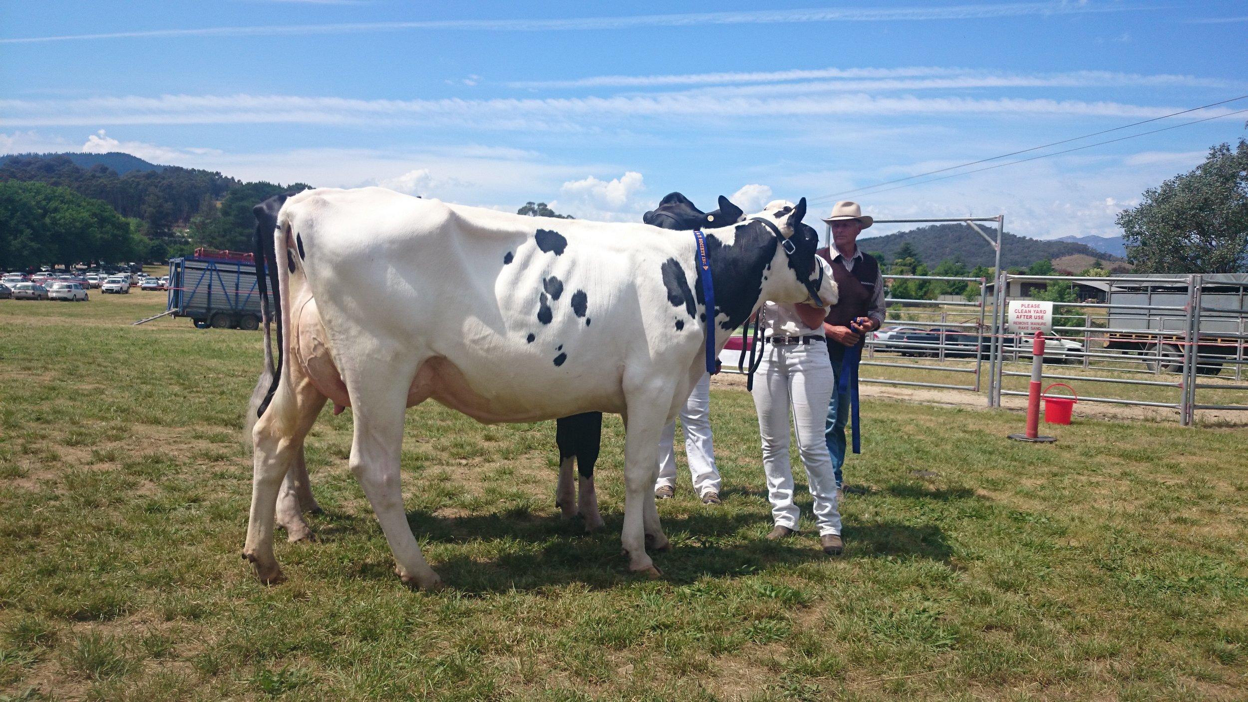 Modern Holsteins, AU