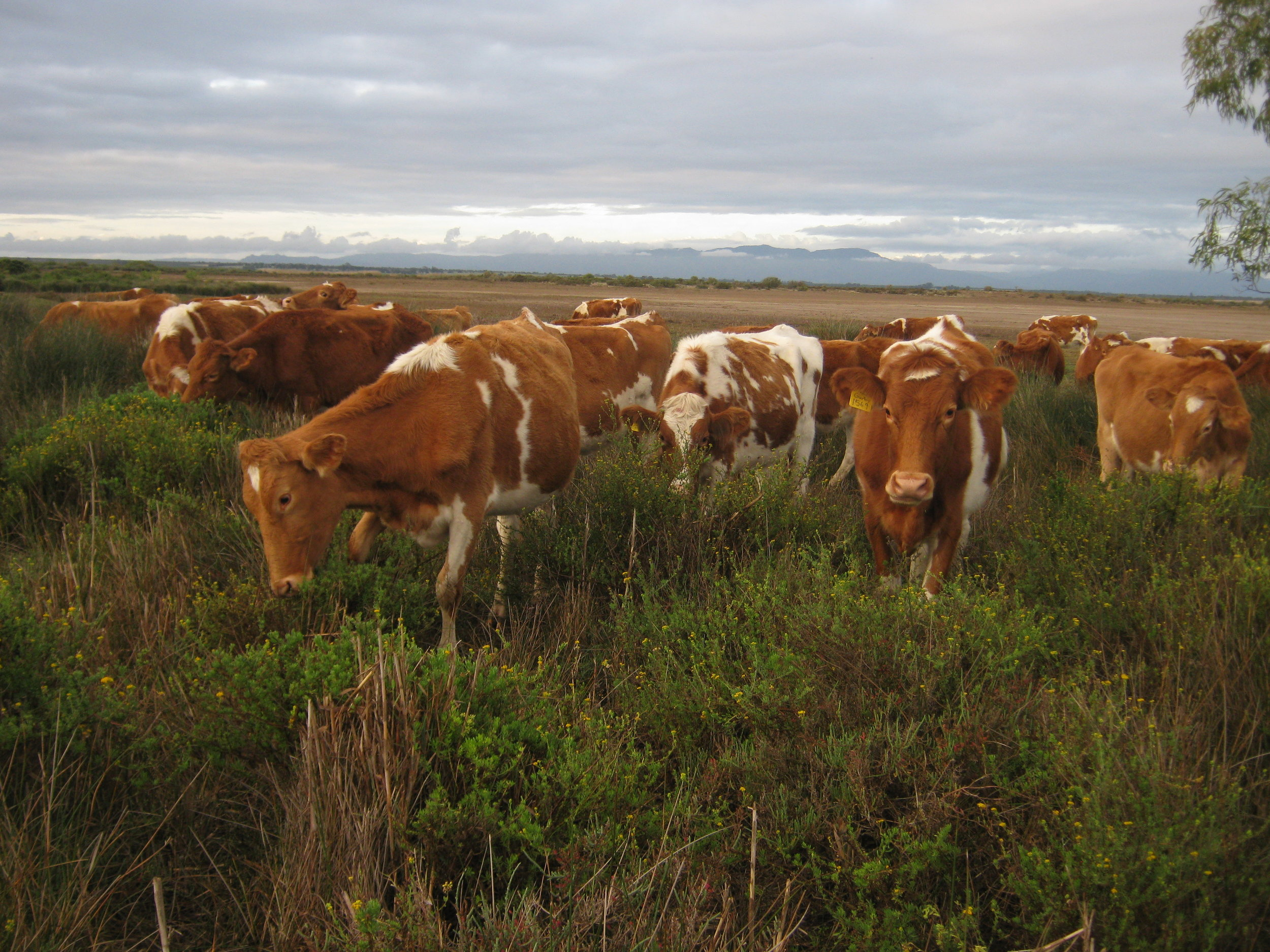 Guernsey heifers in South Africa in the middle of a drought