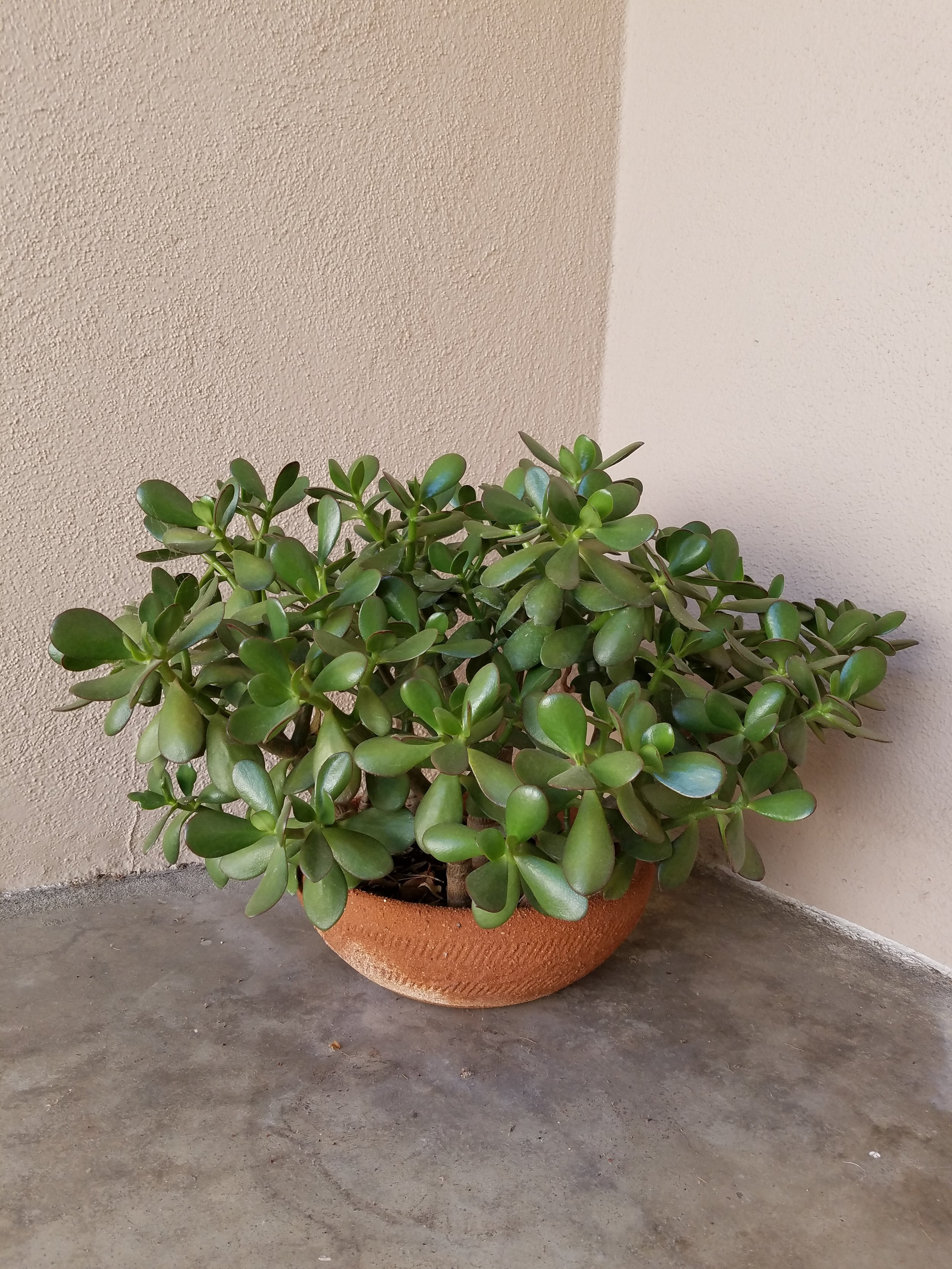 What do you want from a plant?Food, shade, beauty, landscaping, orthe calm of green living things? - A front door welcome. These are my Jade plant cuttings now filling a terracotta pot.