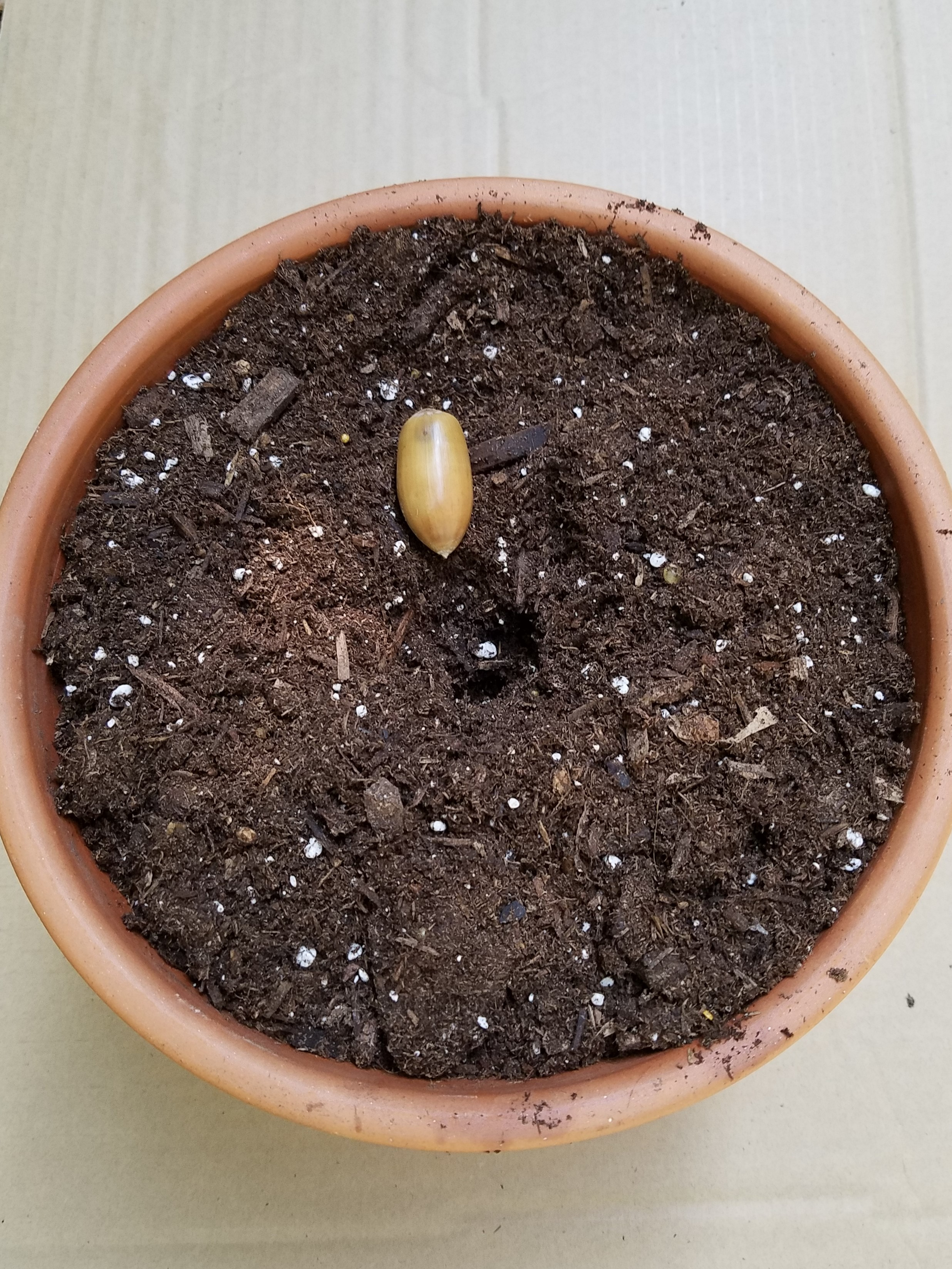 The depth of a seed planted in soil matters. If it's not specified in planting directions, plant the seed in twice the depth of the size of the seed. - This California Live Oak acorn is about an inch long, so will have to be buried in a 2 inch deep hole.