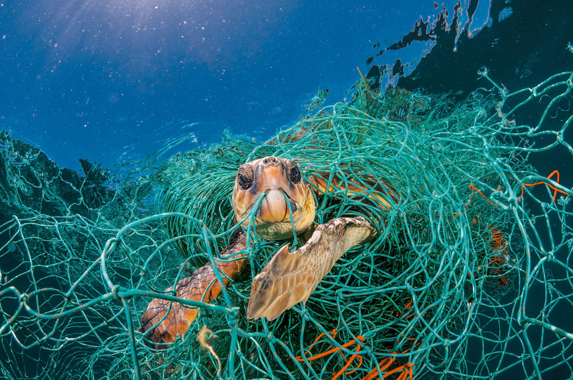 A turtle ensnared in a net, by 2050 the amount of plastic in the ocean will outnumber fish by weight (National Geographic photo)