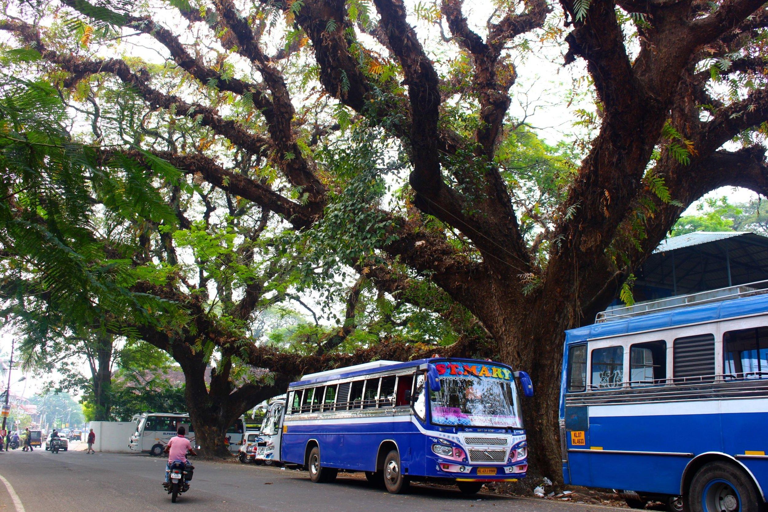 rain-tree-fort-cochin-kerala