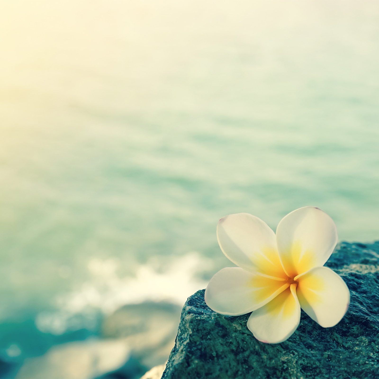 White frangipani on the rock at the beach%0D%0A-1.jpg