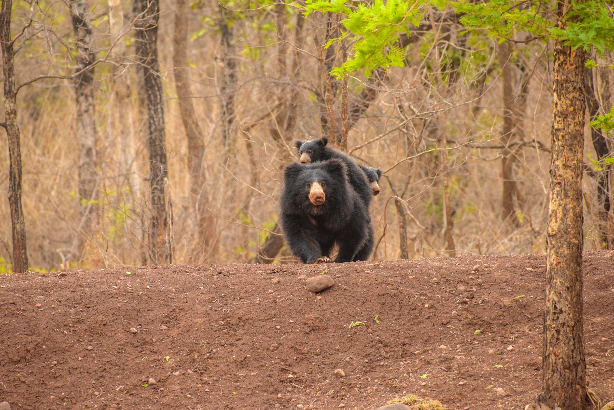 Bear with cubs_Edited.jpg