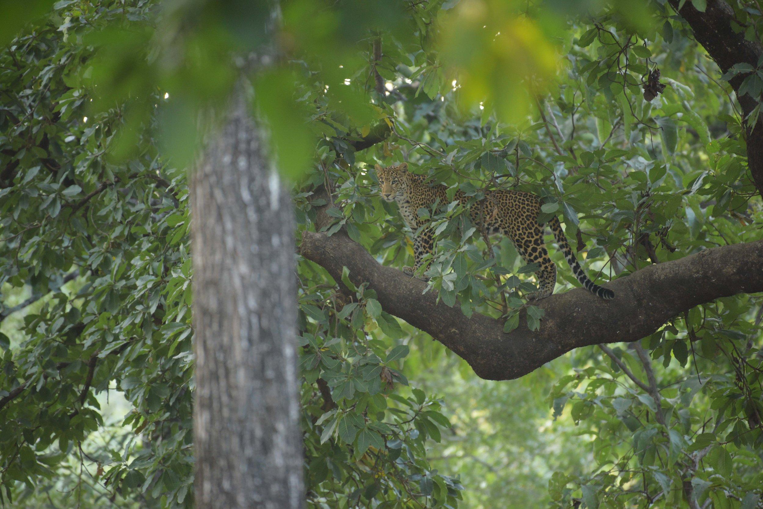 Leopard on tree.jpg