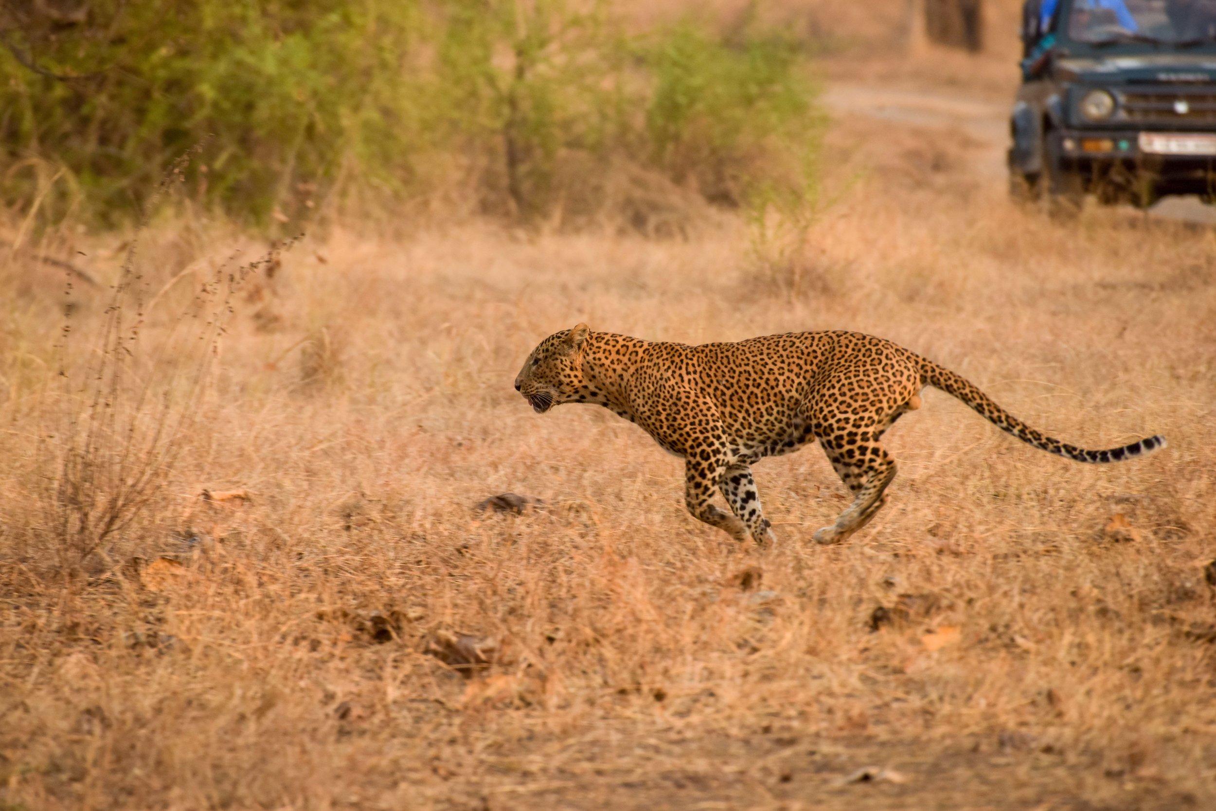 Leopard Sprint.jpg