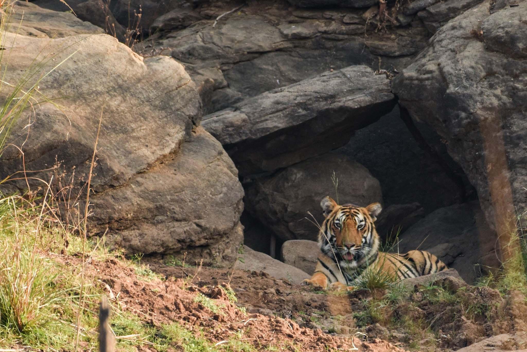 Tiger 1.jpg