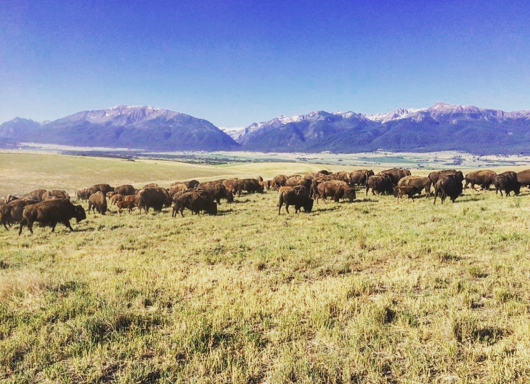 One of our herds comprised of our older animals. Animals pictured are in one of the dry land pastures on the ranch. These pastures give the buffalo a large amount of area to graze and roam around.