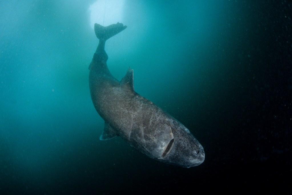 OConnor-Strange-Gruesome-Story-Greenland-Shark.jpg