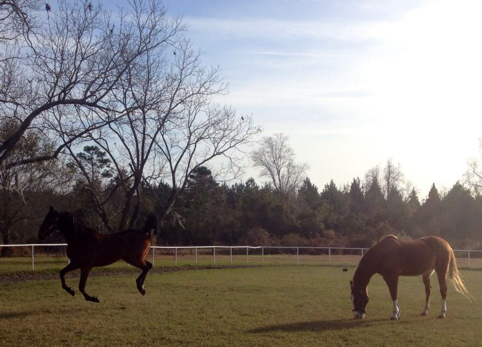 Our Farm - Pine Haven sits on 12 acres right off Hwy 82 in Brunswick, Georgia. We are also just 14 miles from I95 for convenient access. Our facility has 24 stalls, indoor and outdoor riding areas.