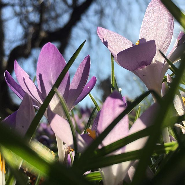 "Finally got a membership to the Brooklyn Botanic Garden! Celebrated the arrival of spring with my yearly ""worm's-eye view"" crocus picture. #fightforsunlight #bbgnorezone"