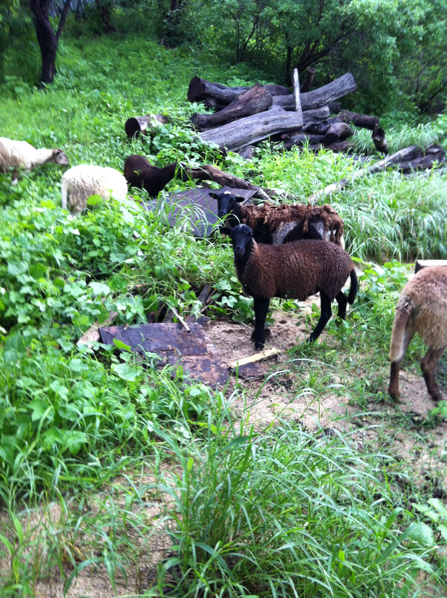 15-sheep.jpg