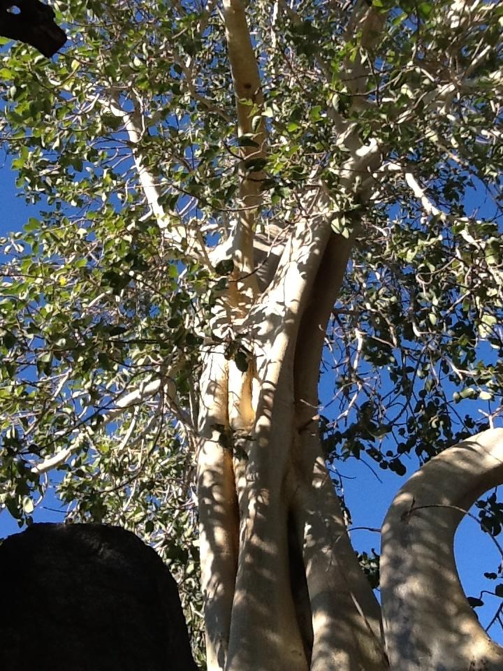 8-eucalyptus.jpg