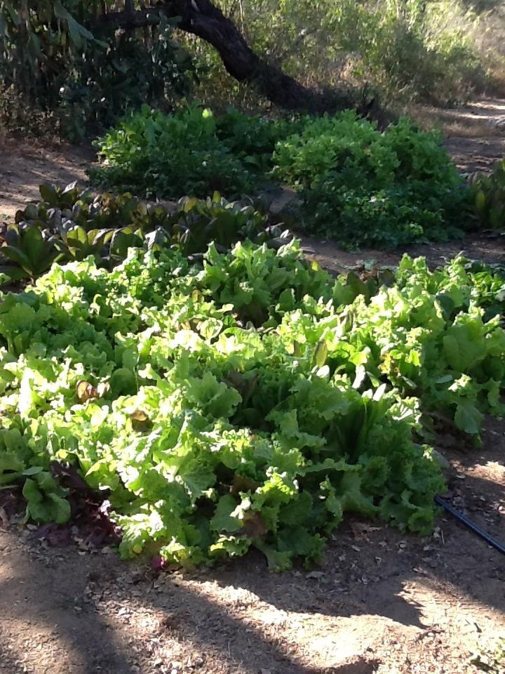 10-lettuce.jpg