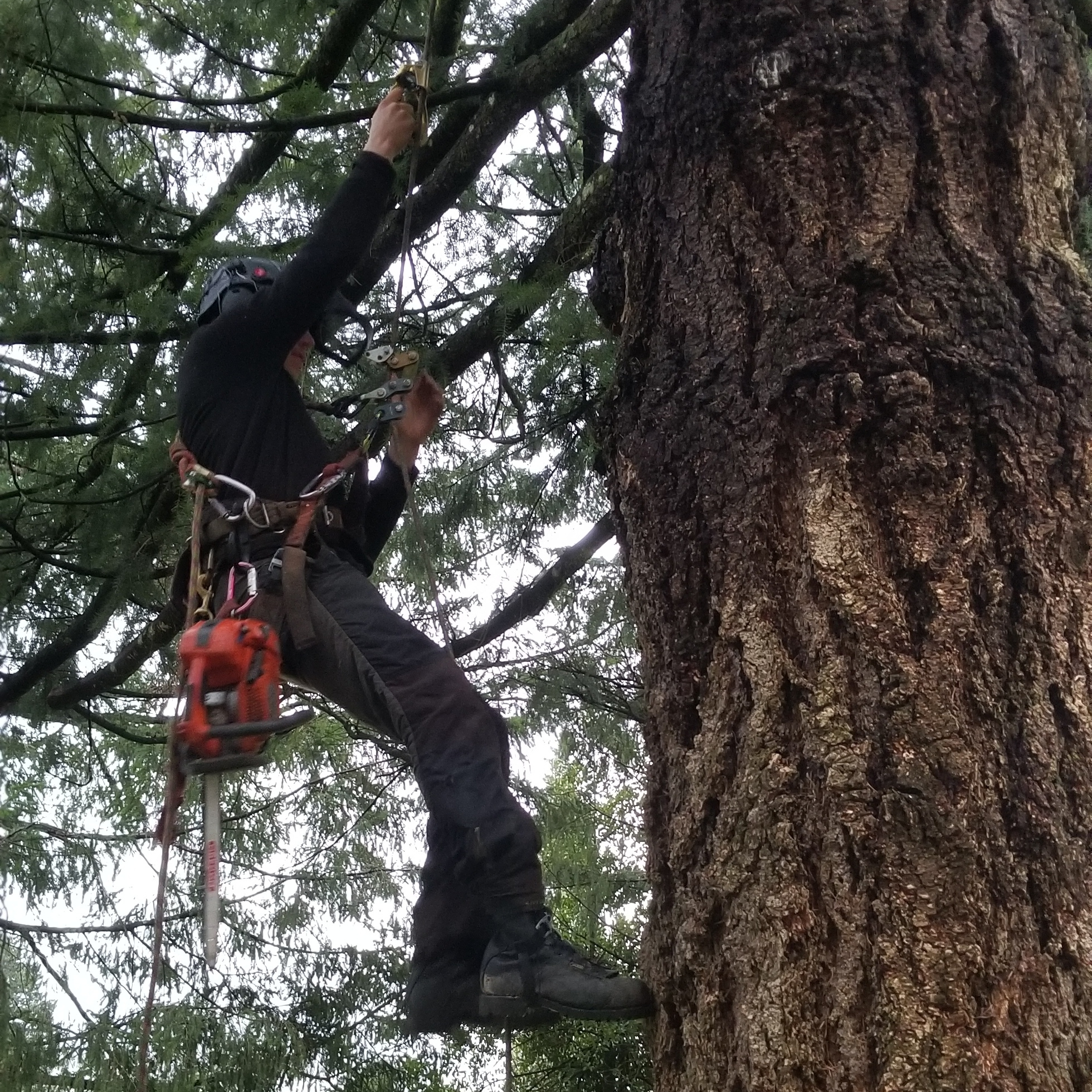 Pruning - We prune to ISA standards. We won't spur a tree that is not being removed, (except very rare circumstances and for safety reasons) and we won't prune a tree in a manner that is harmful to it. We do our very best to provide care that is good for our clients and their trees.