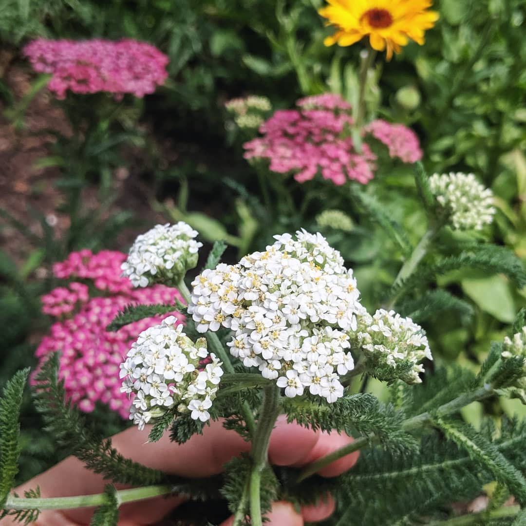 Yarrow: Myth, Magic, and Medicine — Rowan and Sage