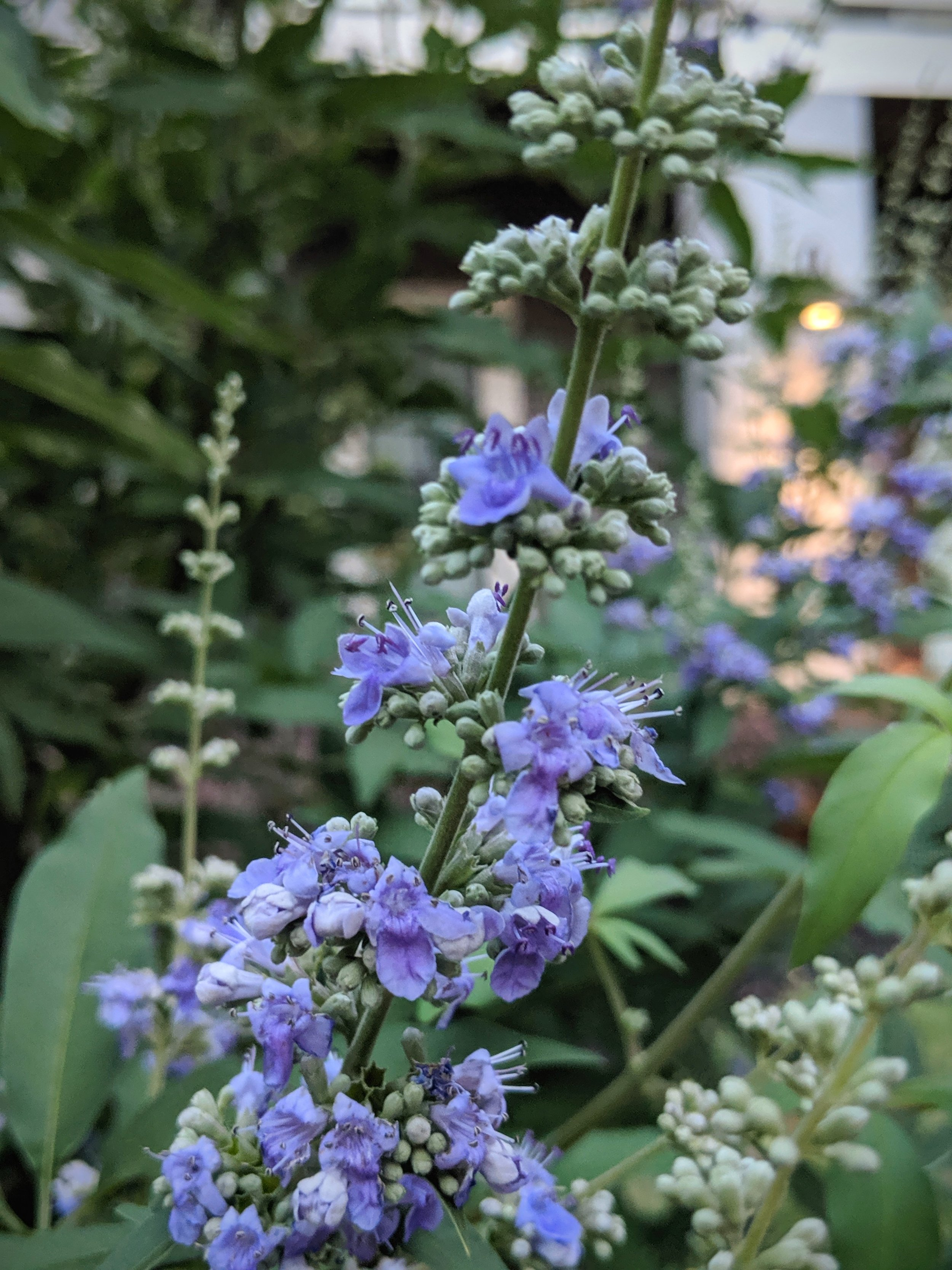 Pictured here is Vitex, one of our common herbal allies for hormonal health – I'm planning on writing a whole blog on Vitex so stay tuned!