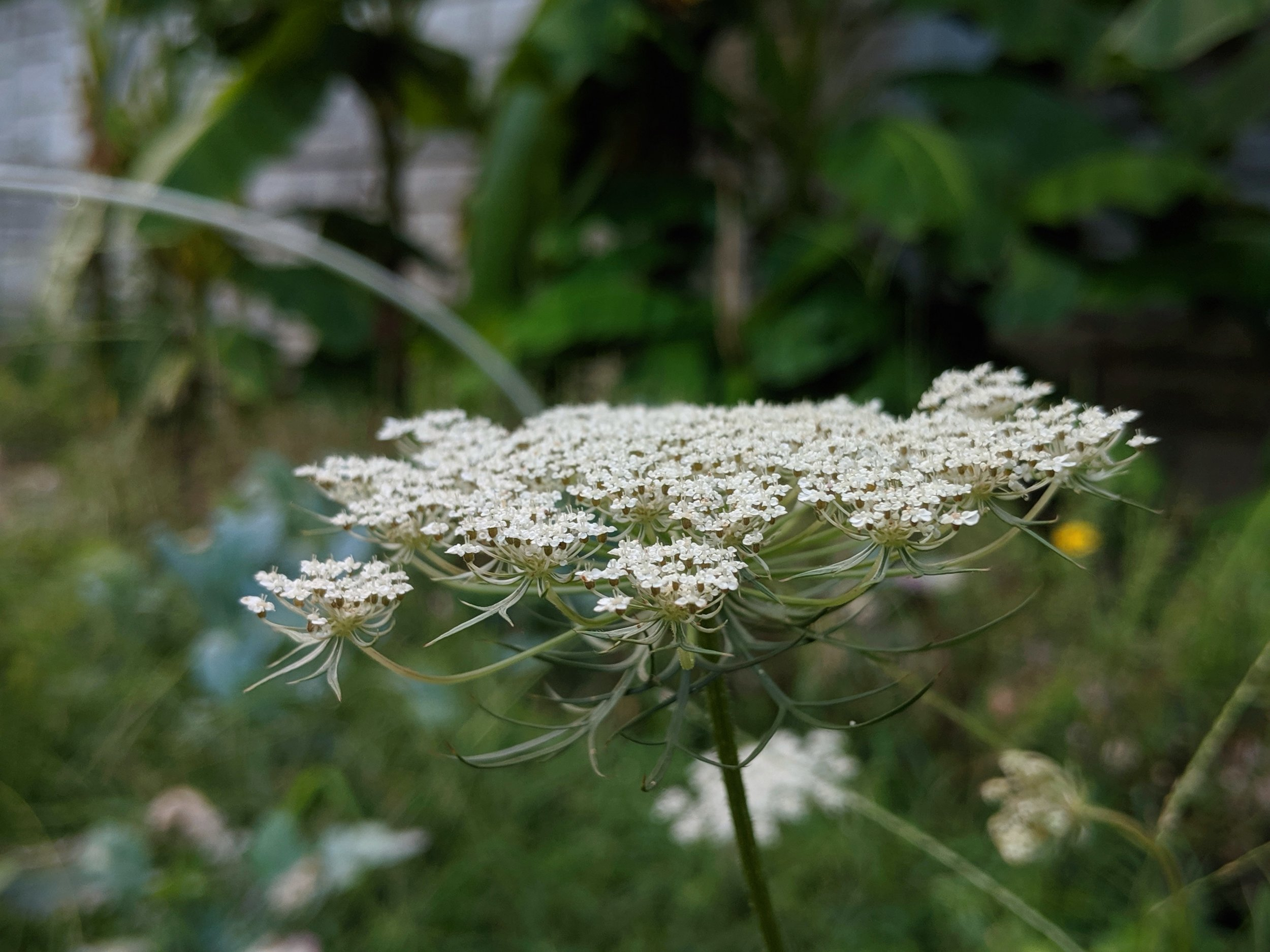 Herbs for Lammas time really include anything that is growing around you at the moment such as Queen Anne's Lace, Mugwort, Yarrow, Clover, Milkweed, Comfrey, Goldenrod, and so many more!