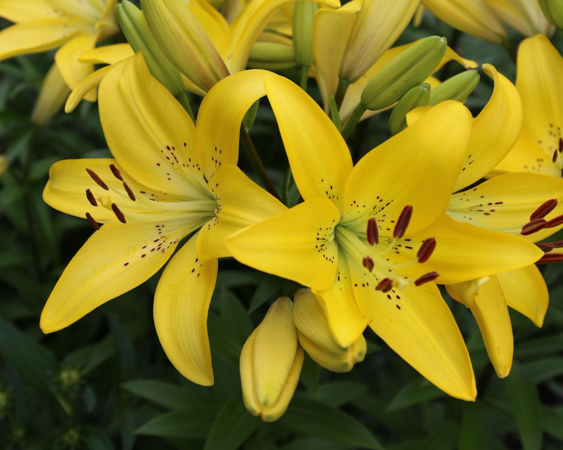 Yellow Diamond - Longfield Gardens.jpg