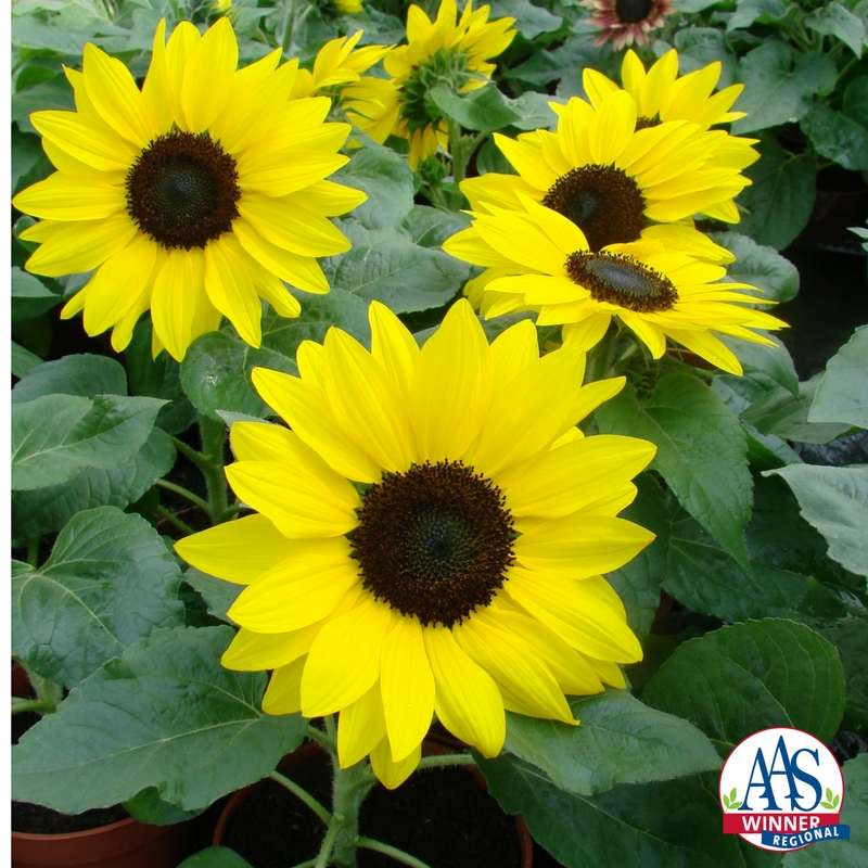 Suntastic is a new dwarf sunflower perfect as a cheery long-blooming potted plant or window box accent or maybe to add a burst of color to a sunny garden bed.