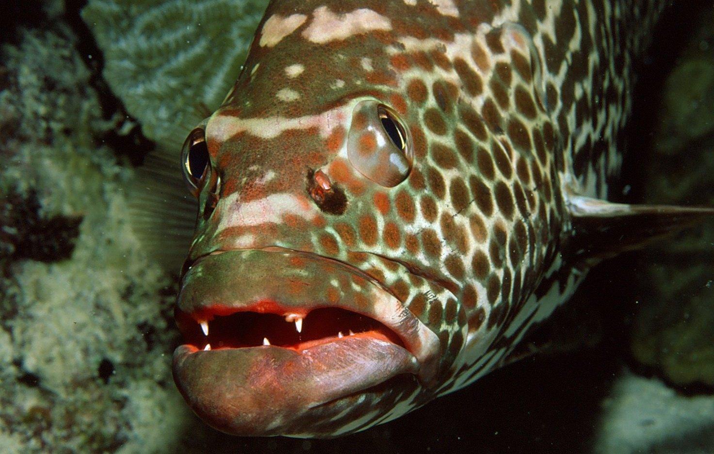 Bonaire Grouper, copyright Andrew Snowhite.jpg
