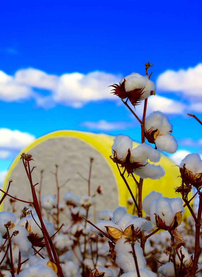 Cotton HP Photography.jpg