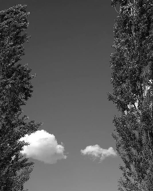 Pioppi cipressini - Populus nigra 'Italica' 🌿 si possono ammirare spesso in filari 🌲🌲🌲🌲🌲nelle campagne dell'Europa centrale temperata, lungo le strade, i fiumi o a formare barriere di protezione contro il vento. In inglese si chiamano Lombardy Poplars rivelando che, oltre ad essere una specie di pioppi italiana, sono proprio originari della Lombardia, la mia terra 😍💖 Documentati per la prima volta nella seconda metà del 1600 e da allora immortalati da innumerevoli pittori paesaggisti 👨🎨🎨 👩🎨 I germogli e le giovani foglie sono coperti da una resina che rilascia un piacevole profumo simile all'incenso 🥰 queste tre parti dell'albero hanno parecchi usi medicinali sia internamente che esternamente 💊🔬🧬💚