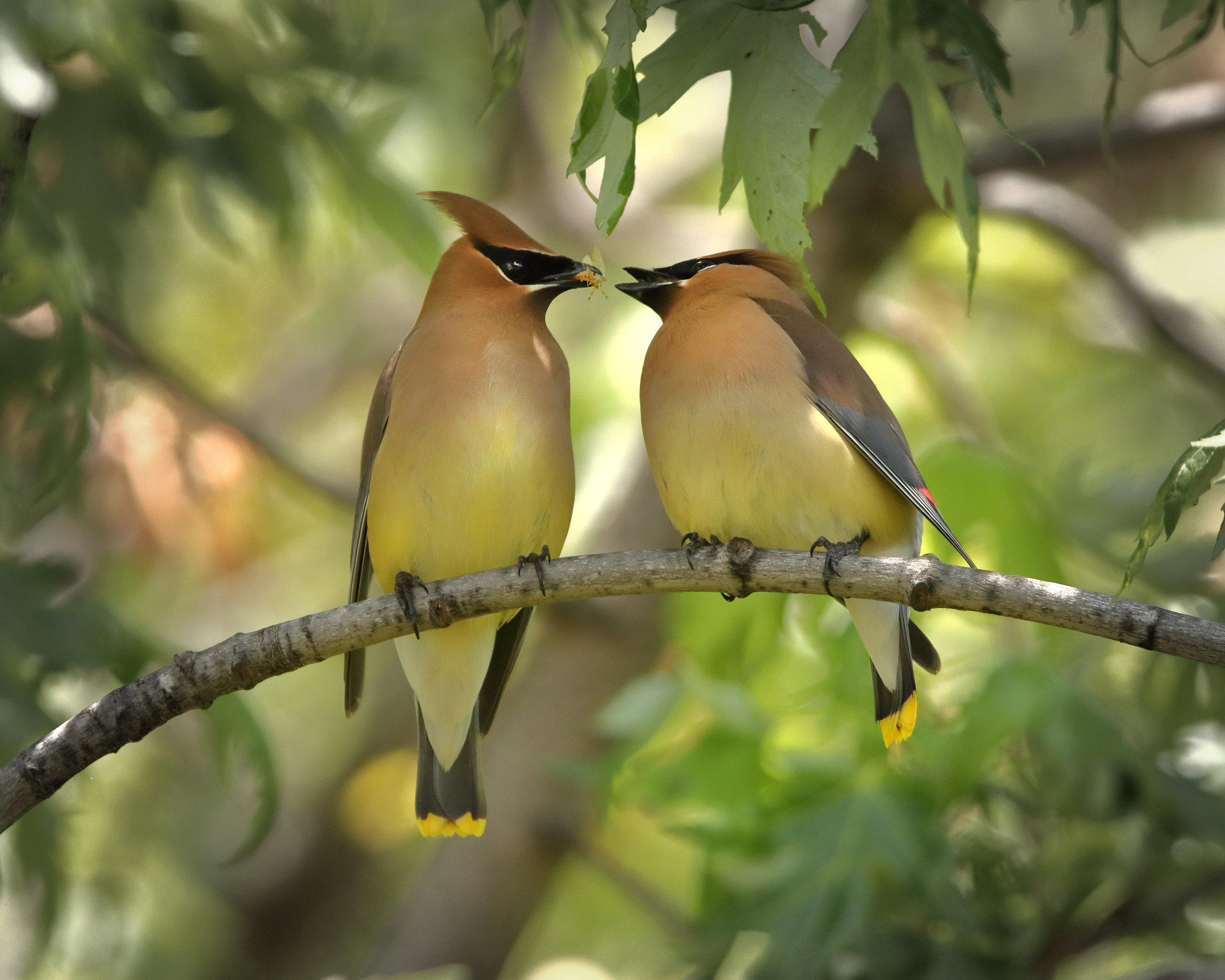 songbirds sharing food