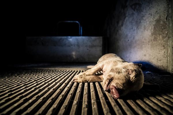 pig intensive farm-12.jpg