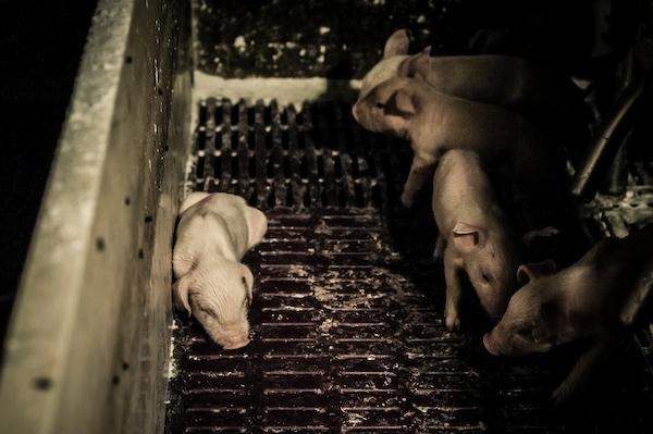 pig intensive farm-16.jpg