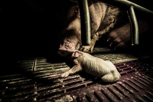 pig intensive farm-18.jpg