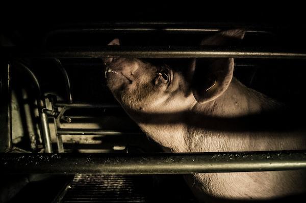 pig intensive farm-19.jpg
