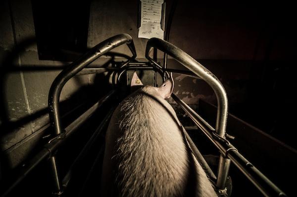 pig intensive farm-21.jpg